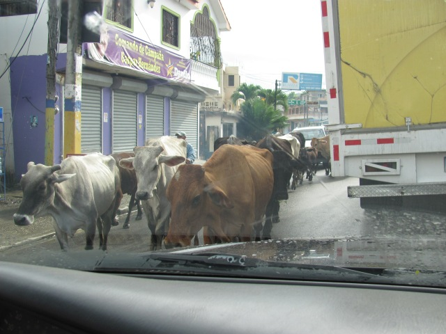 Cattle drive thru town